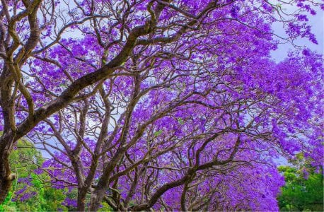 Trees with purple blossoms in Sarasota Florida