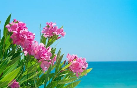 Pink flowers with ocean in the background in Sarasota Florida