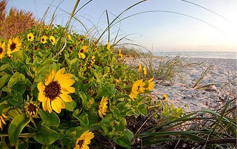 Sunflowers on Sarasota Beach