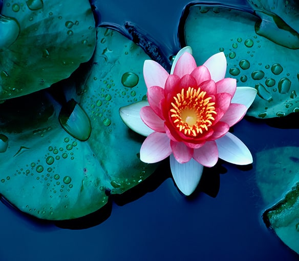 Lilly pad with pink and white flower in water